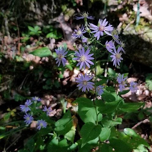 "Symphyotrochium cordifolium - ""Heart Leaved Aster"""