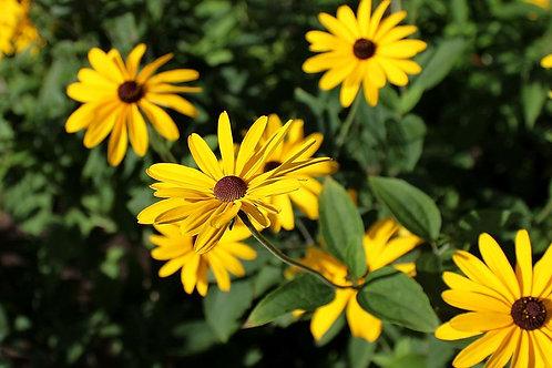 """Rudbeckia subtomentosa - """"Sweet Black-eyed Susan"""""""
