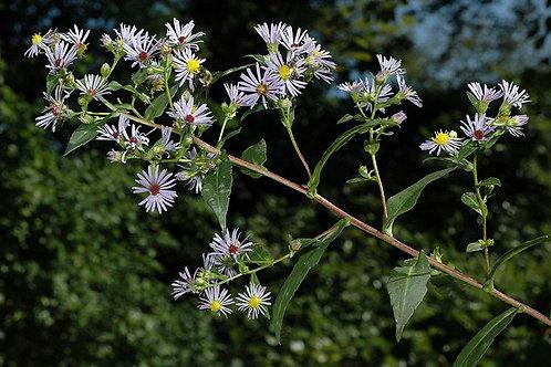 "Symphyotrichum puniceum - ""Swamp Aster"""