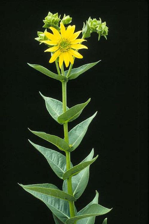 """Silphium integrifolium - """"Rosinweed"""""""