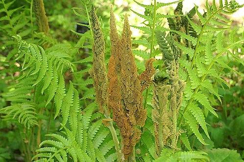 "Osmundastrum cinnamomeum - ""Cinnamon fern"""