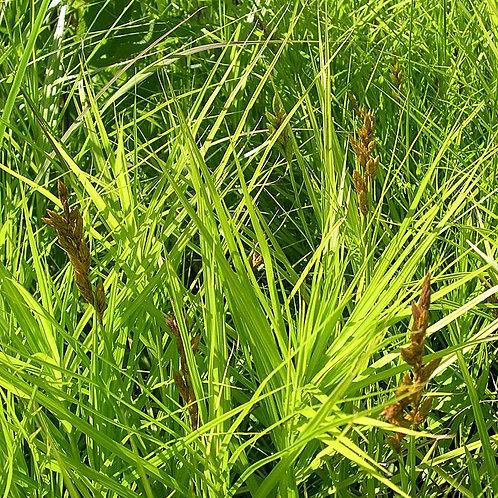 "Carex muskingumensis - ""Palm Sedge"""