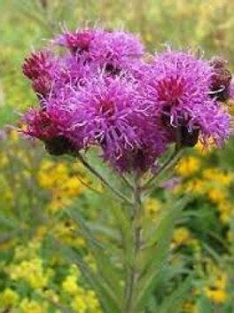"""Vernonia missurica- """"Missouri Ironweed"""