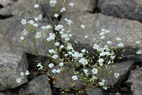 """Arenaria stricta - """"Stiff Sandwort"""""""