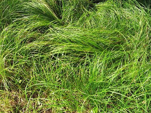 "Carex pennsylvanica - ""Pennsylvania sedge"""