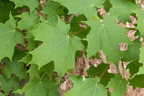 "Acer saccharum - ""Sugar Maple"""