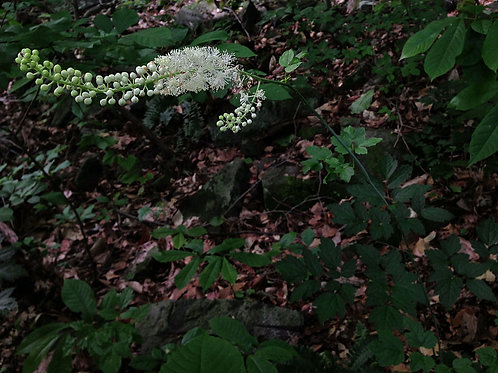 Cimicifuga racemosa- Black Cohosh