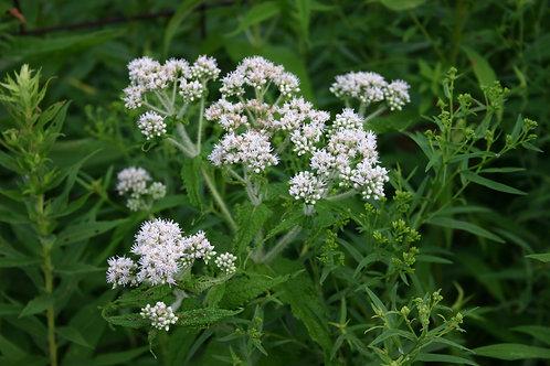 "Ageratina altissima - ""White Snakeroot"""