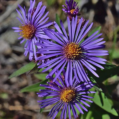 """Symphyotrichum novae-angliae - """"New England Aster"""""""