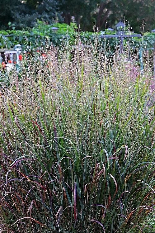 Panicum virgatum- Switchgrass