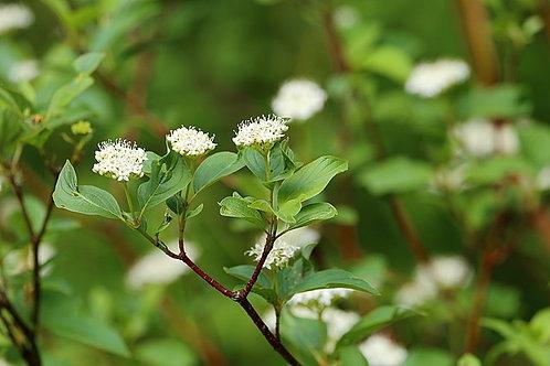 "Cornus sericea - ""Redtwig Dogwood"""