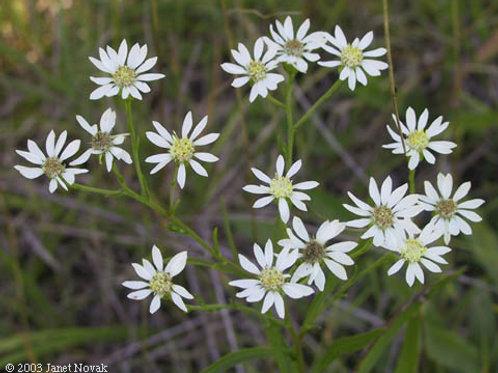 "Oligoneuron album - ""Upland White Goldenrod"""