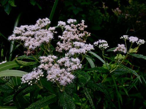 """Eupatorium perfoliatum - """"Boneset"""""""