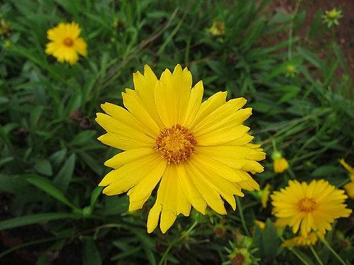 """Coreopsis lanceolata - """"Lance-leaf Coreopsis"""""""