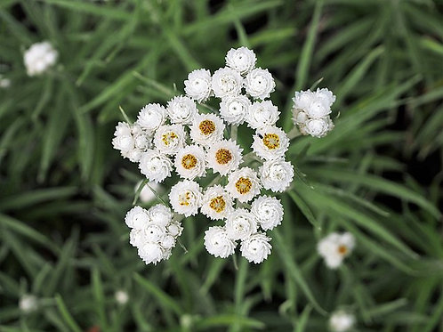 "Anaphalis margaritacea - ""Pearly Everlasting"