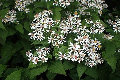 "Eurybia macrophylla - ""Big-leaved Aster"""