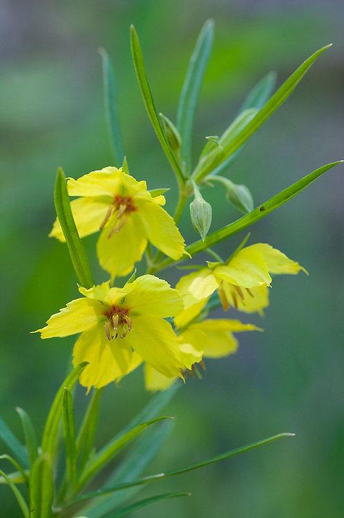"""Lysimachia quadrifolia - """"Prairie Loosestrife"""""""