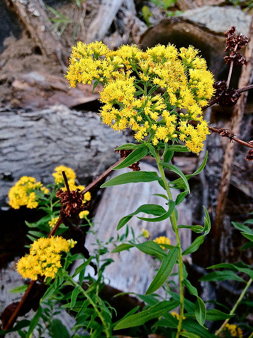 """Euthamia graminifolia- """"Grass Leaved Goldenrod"""""""