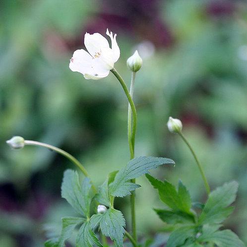 "Anemone virginiana - ""Tall Thimbleweed"""