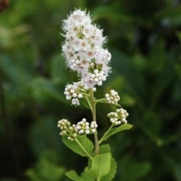 "Spiraea alba -""Meadowsweet"""
