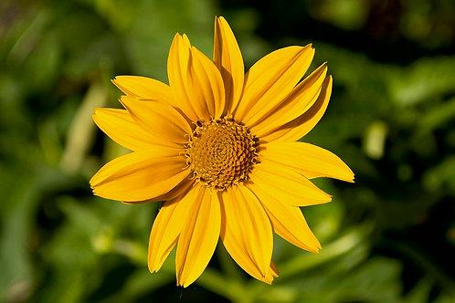 Heliopsis helianthoides- False Sunflower