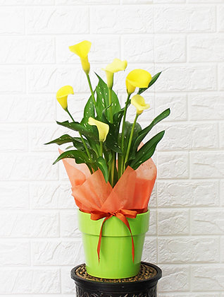 Yellow Large Calla Lily in Pot