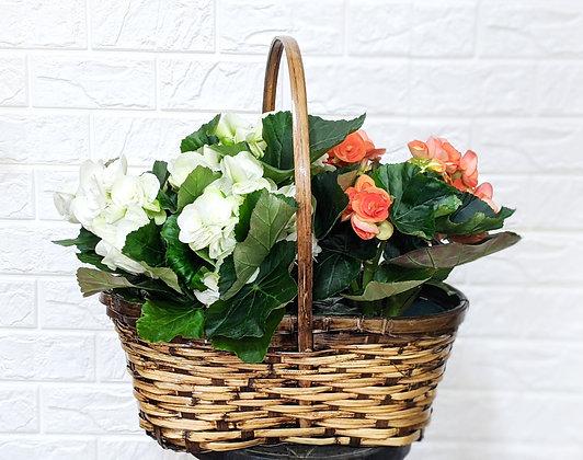 Basket of White & Peach Begonias