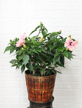 Pink Hibiscus in Basket