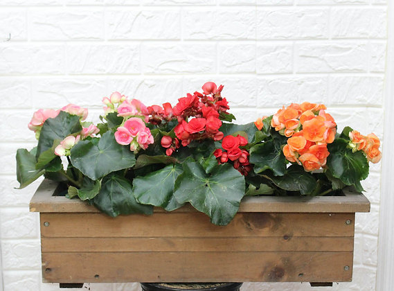 3 Begonia in Wooden Box