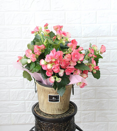 Pink Begonia in Pot