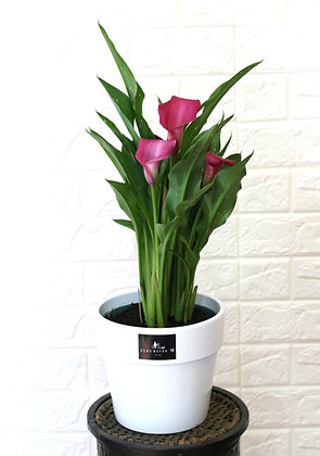 Pink Large Calla Lily in Pot