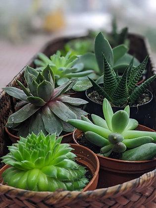Succulentes in a Basket