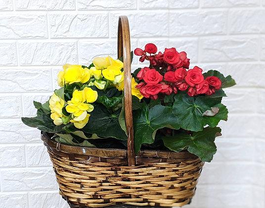 Basket of Yellow & Red Begonias
