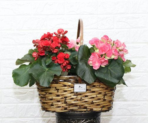 Begonia in Basket