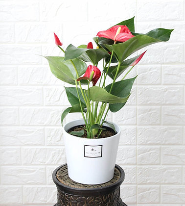Red Anthurium in Pot