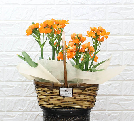 Ornithogalums in Basket