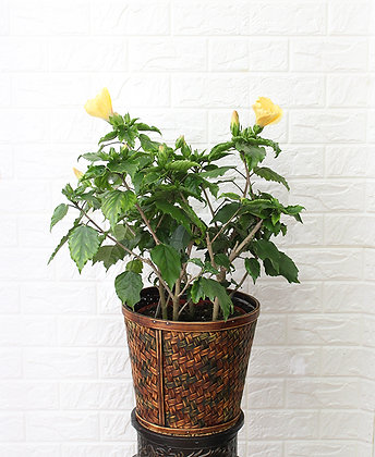 Yellow Hibiscus in Basket
