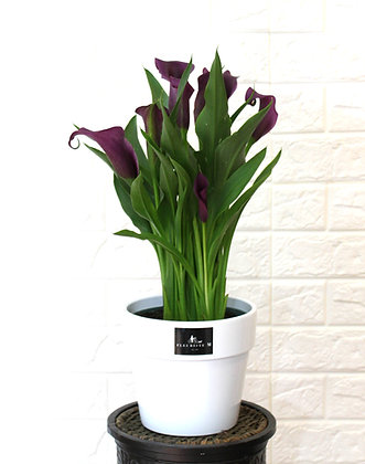 Purple Large Calla Lily in Pot