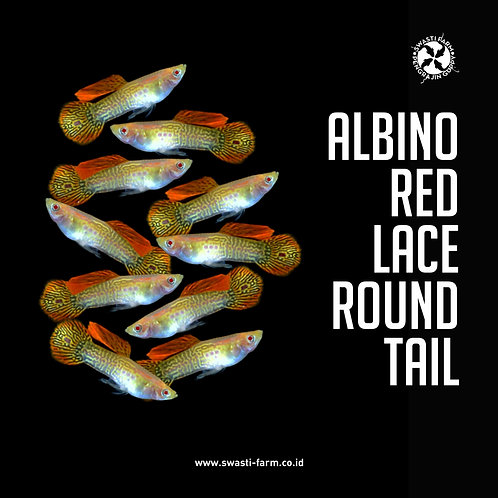 ALBINO RED LACE ROUND TAIL