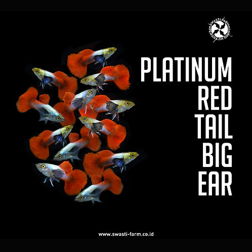 PLATINUM RED TAIL BIG EAR