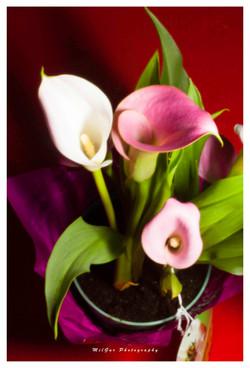 Calla lily plant6