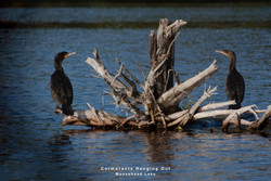 Cormorants Hanging Out