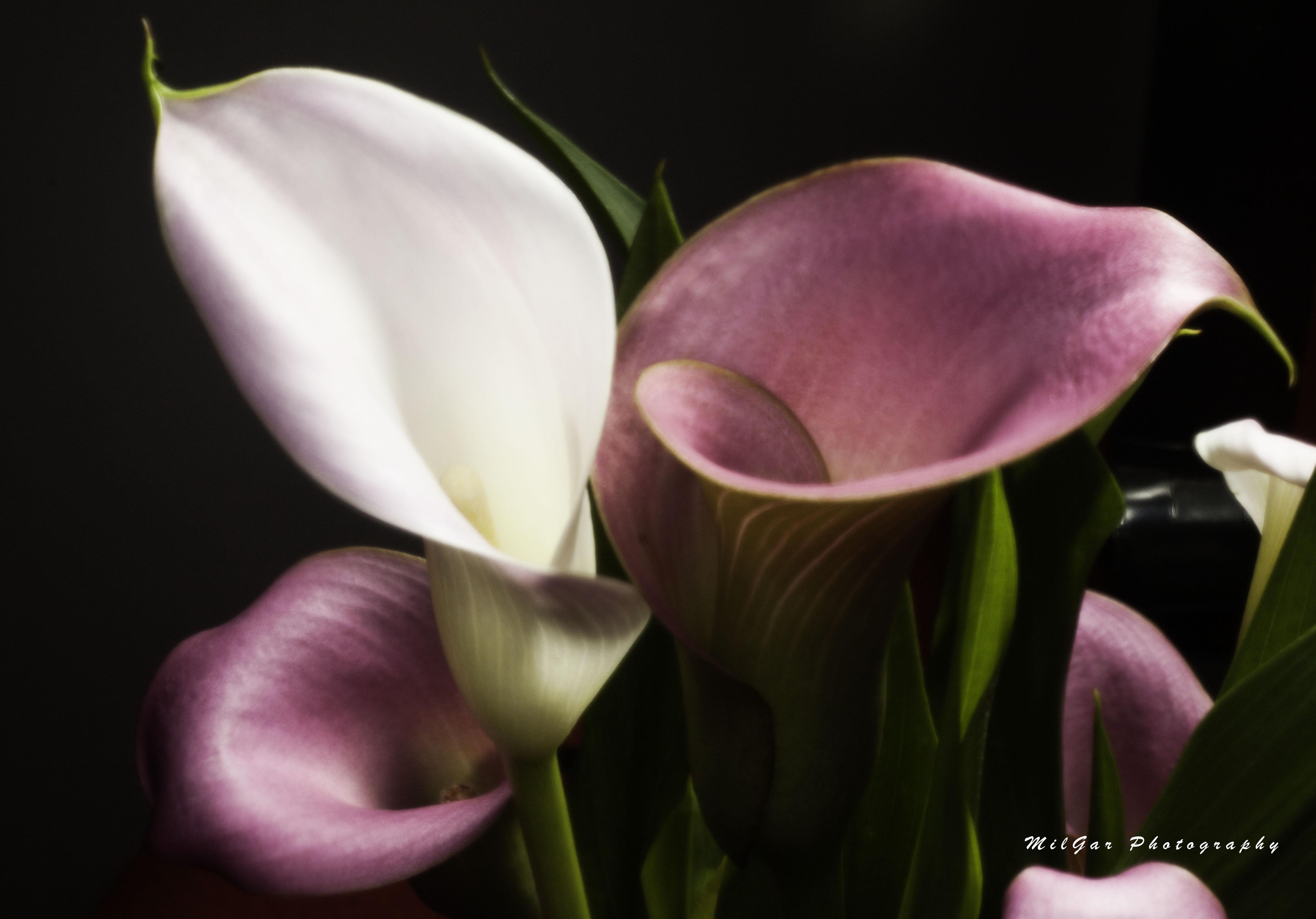 Calla lily plant4
