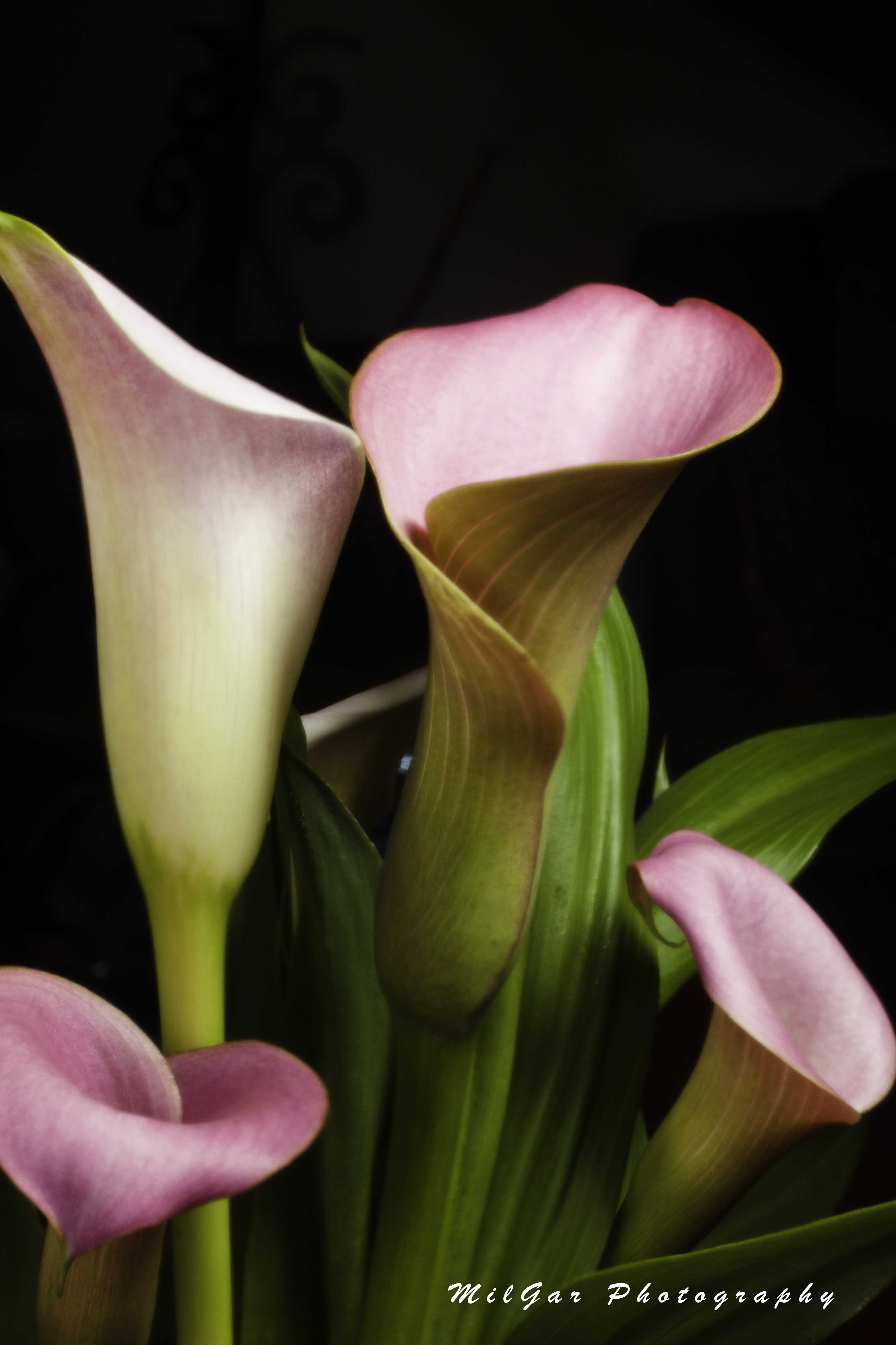 Calla lily plant2