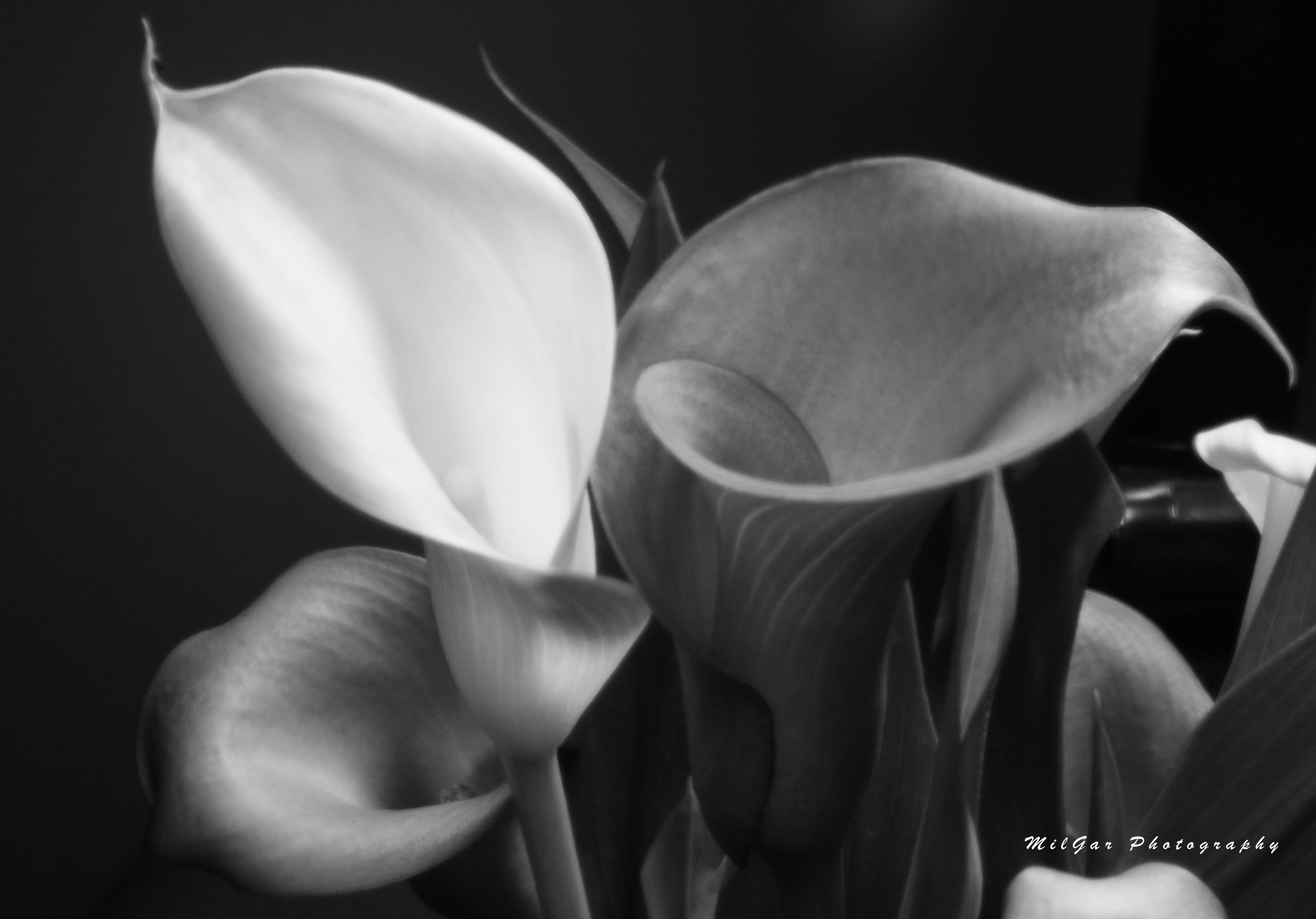 Calla lily plant4bw