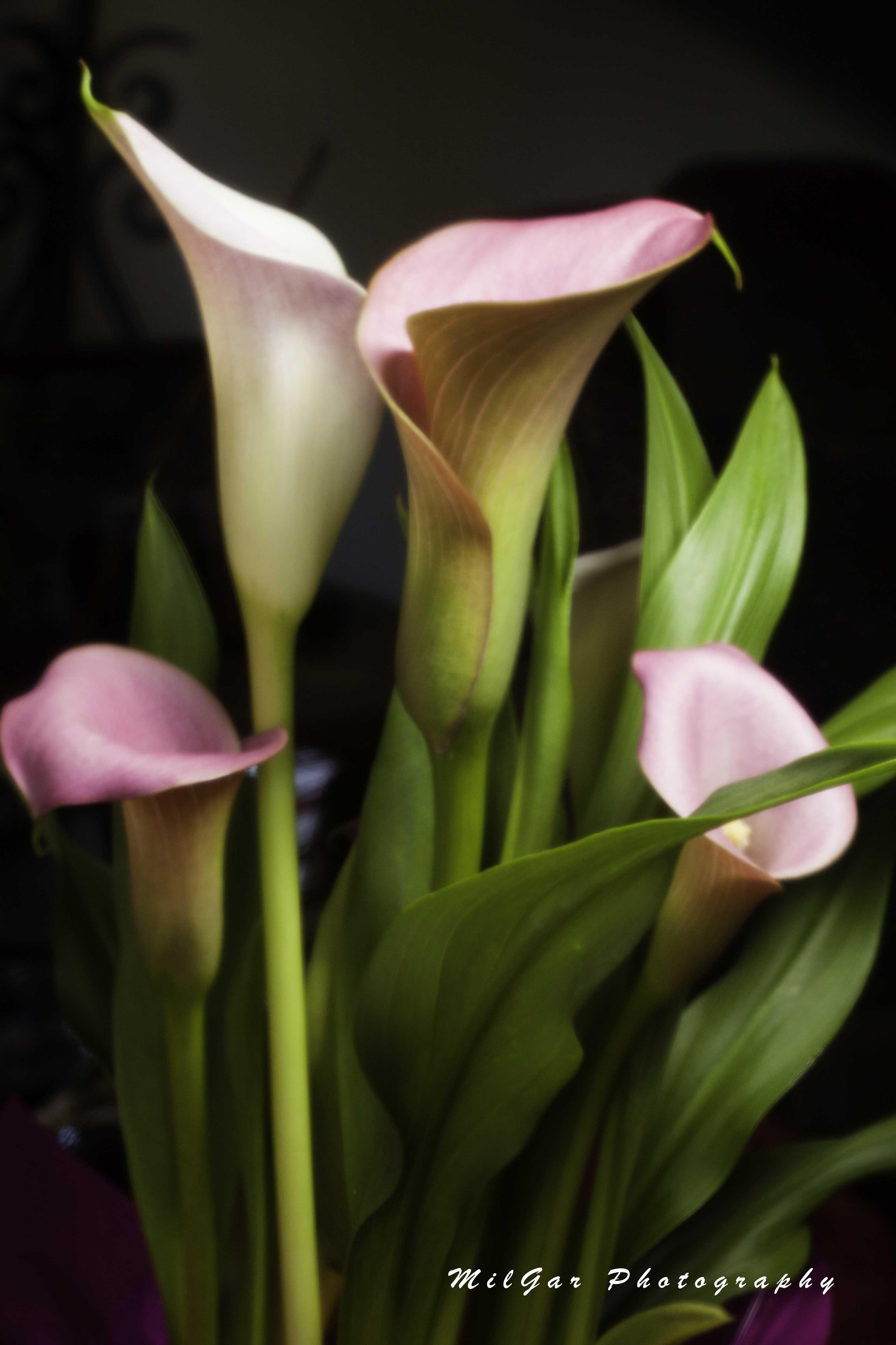 Calla lily plant3