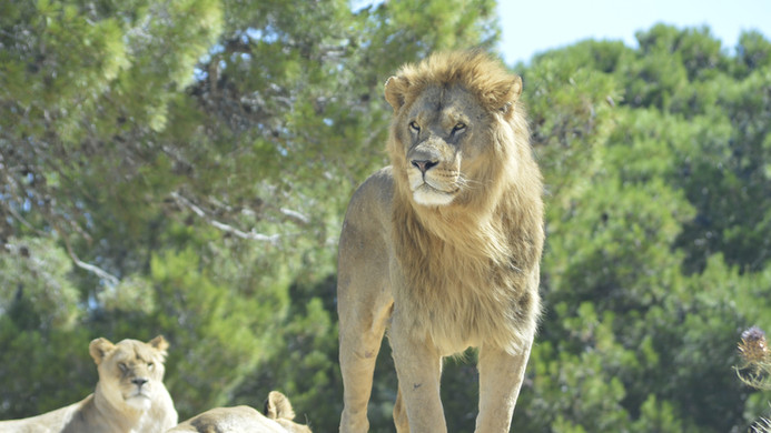 sigean lion