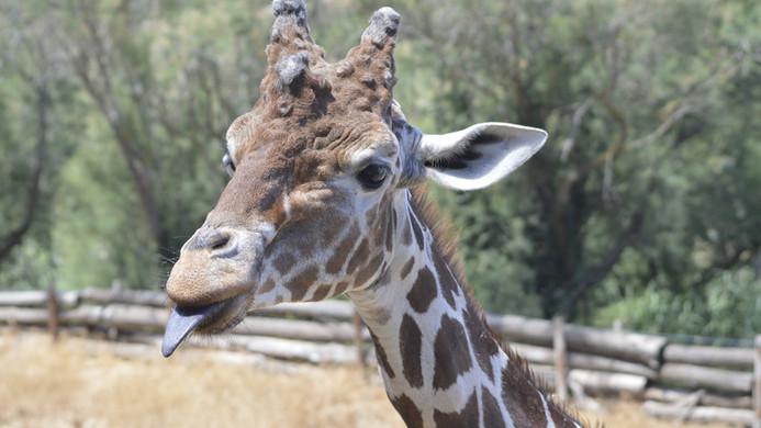 Sigean girafe