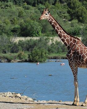 fiche-girafe.jpg