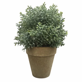 Olearia in Natural Pot